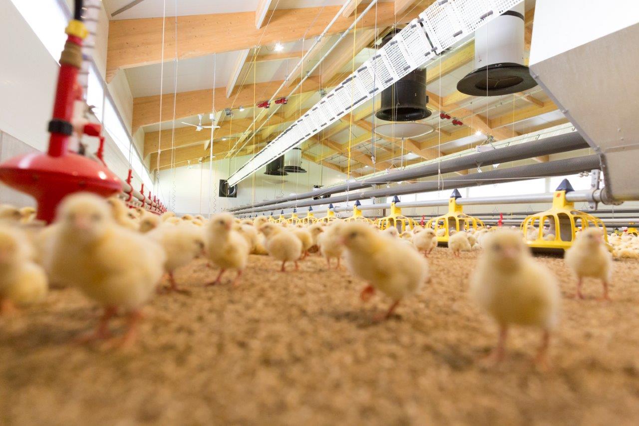 Hệ thống ăn cho gà thịt Minimax