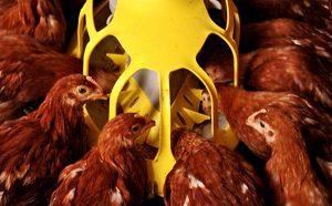 Hệ thống ăn gà giống đẻ