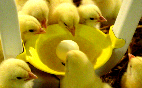 Poultry Drinking Systems