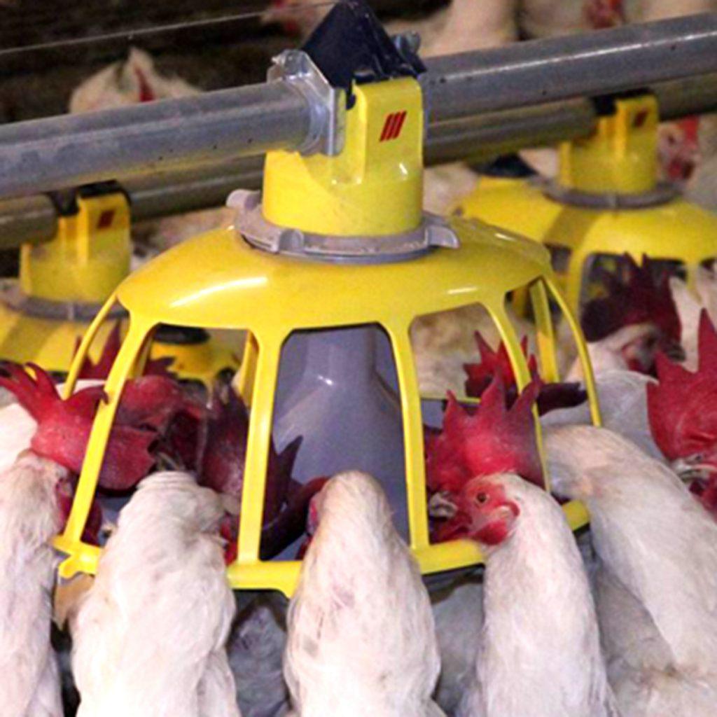 Hệ thống ăn tự động gà giống thịt